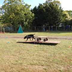 chiens passant obstacle attelage