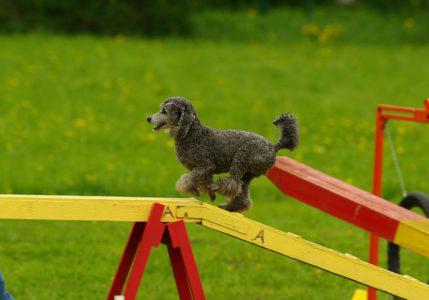 Caniche passerelle pour l'agility