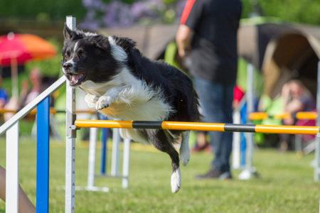 Border Collie saut de haie pour l'agility